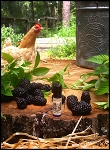 BLACKBURN FARMSTEAD PERFUME OIL 5 ml - Blackberry Jam, Boysenberry Preserves, Vanilla Bean, Creamy Vanilla and a touch of Vanilla Musk - **Reformulated 2016**